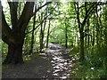 SJ8442 : Track through wood near Westbury Park by Jonathan Hutchins