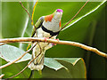 SJ4169 : Brightly Coloured Tropical Bird in Monsoon Forest by David Dixon
