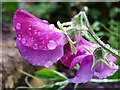 SO6023 : Sweet Peas in the rain, 8 by Jonathan Billinger