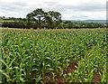 SS9709 : Maize crop near Higher Ford : Week 31