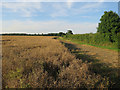 TL3054 : Ripe oilseed rape by Hugh Venables