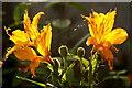 HP6208 : Spider's web between Peruvian Lily flowers, Baltasound : Week 34