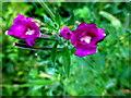 H4772 : Wildflower blossom, Cranny by Kenneth  Allen