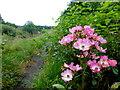 H4572 : Wild roses, Creevenagh : Week 35