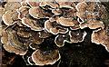 J4078 : Fungus, Glenlyon, Holywood (September 2016) by Albert Bridge