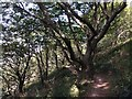 SX4951 : Attractive Trees by the SW Coast Path by don cload