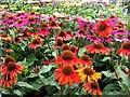 SJ8070 : Fantastic Echinaceas by Jonathan Billinger