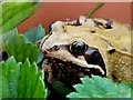 SO7127 : Common Frog, 2 by Jonathan Billinger