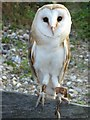 SZ8795 : Captive barn owl, Church Norton by Stefan Czapski