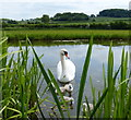 SK7386 : Mute swan and cygnets by Mat Fascione