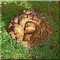 SK5037 : Fungal display, Bramcote Old Tower garden : Week 42