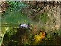 H4772 : Duck, Camowen River : Week 44