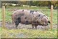 NT1137 : Free range pig, Broughton Place by Jim Barton