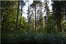 TQ3327 : Conifers, River's Wood by N Chadwick