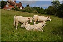 TQ5344 : Cattle resting by N Chadwick