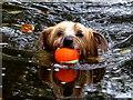 "H4772 : ""Pip"" retrieves a ball, Cranny by Kenneth  Allen"