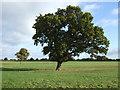 SJ6859 : Tree in pasture, Bradfield Green by JThomas