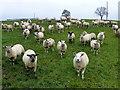 H5070 : Curious sheep, Donaghanie : Week 46