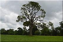 TQ5347 : A single tree by N Chadwick