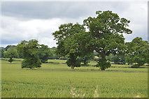 TQ5247 : Three trees by N Chadwick