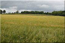 TQ5247 : Sea of Barley by N Chadwick