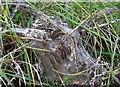 TQ9418 : Brown-tail moth larvae by Patrick Roper