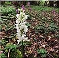 TQ7819 : White early purple orchid, Killingan Wood by Patrick Roper