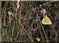 TQ7920 : Clouded yellow butterfly, Brede High Woods by Patrick Roper