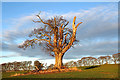 NT5935 : An old tree at Craighouse by Walter Baxter