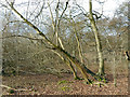 SU8689 : Leaning Trees in Horton Wood by Des Blenkinsopp