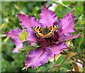 TQ7818 : Small tortoiseshell on clematis flower by Patrick Roper