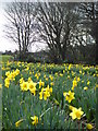 SW7631 : Daffodils and hedgerow at Tresooth Farm by Rod Allday
