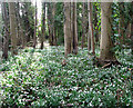 TG2004 : Snowdrops in Keswick by Evelyn Simak