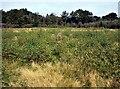 TQ7920 : Birch scrubbing in Holman Wood Field, Brede High Woods by Patrick Roper