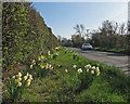 TL5257 : Daffodils by Wilbraham Road by John Sutton
