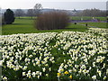 TQ4676 : Daffodils on East Wickham Open Space : Week 11