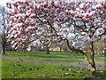 TQ4578 : Blossom in St Nicholas Gardens : Week 11