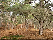 NH6690 : Scots Pine of the Woodland Trust Migdale Nature Reserve by Julian Paren