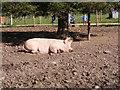 SJ9303 : Lying Pig by Gordon Griffiths