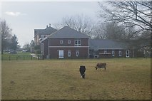 TL4359 : Cattle grazing by Madingley Rd by N Chadwick