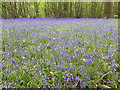 TQ8332 : Bluebells at Hole Park Gardens by Marathon