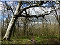 SU8914 : Woods north of East Dean by Chris Gunns