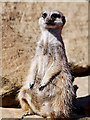 SD7012 : Meerkat at Smithills Open Farm (2) by David Dixon