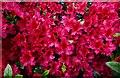 TQ2730 : High Beeches Garden: Rhododendron : Week 20