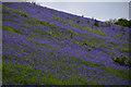 SS9539 : West Somerset : Bluebells : Week 20