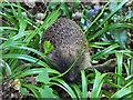 SD5201 : Hedgehog wandering through bluebells : Week 21