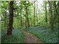 SH5637 : Bluebells in Parc y Borth by Christine Johnstone