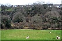 SX4761 : Sheep grazing, Hayesend Farm by N Chadwick
