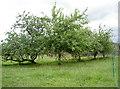 ST5662 : LIttle orchard by Neil Owen
