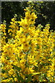 NY0732 : Yellow Loosestrife (Lysimachia vulgaris) : Week 28